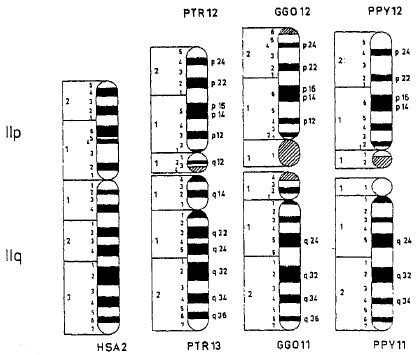 chromosome 11 Findings from a new genome-wide association study support an association  between ad and a cluster of genes on chromosome 11.