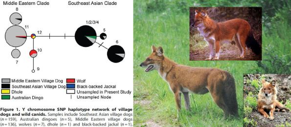 (The interior-most node of the Middle Eastern clade in the study of Brown's team (2011) corresponds to the new haplotype 12, recognized as ancestral and also shared with Asian Wild Dogs or Dhole. In appearance Dholes are not unlike shepherd dogs, that purportedly resemble Pleistocene dogs most. On morphologic grounds they belong to another genus (Cuon), though some of their distinguished traits fall within dog variability. Despite having the same number of chromosomes (78) as dogs, hybridization has not been recorded in any scientific investigation)