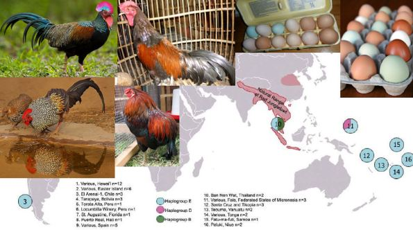(On the left: Green junglefowl (above) and Grey junglefowl; in the middle the Bekisar hybrid (above) and an Araucana rooster; Blue Araucana eggs can be easily distinguished in the upper right; The map (Storey et al., 2012) displays the current distribution of Red junglefowl, the accepted progenitor of chicken, and the current distribution of some chicken mtDNA haplogroups. However, the oldest chicken were found in cultural contexts of northern China on the dividing line between the Palaeolithic and the Neolithic)