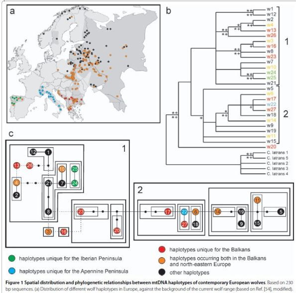 (Contrary to previous results, Pilot's team found that current Holarctic wolves fall in two different haplogroups. Transitional forms are found in the Balkans. Haplogroup 1 appears to be a new development, while haplogroup 2 remained closer to dogs)